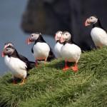 macareux islandais