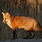 RENARD ROUX (RED FOX) (VULPES VULPES).PRIS AU YUKON,CANADA