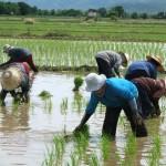 planteuses de riz